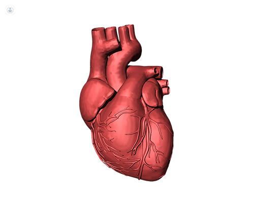3D diagram of the human heart. The mitral valve divides the flow of blood from the left atrium to the left ventricle.